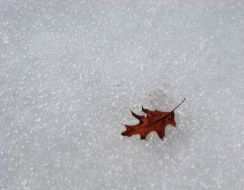 leaf in the ice