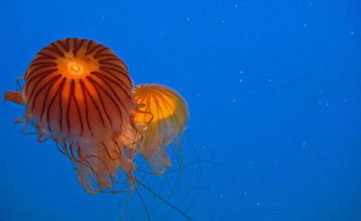 orange jellyfish - baltimore aquarium special exhibit