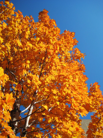 blue sky, orange leaves