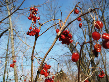 red berries + blue sky = pleasant composition
